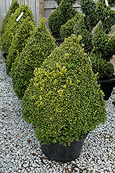 Green Mountain Boxwood (pyramid form) (Buxus 'Green Mountain (pyramid)') at Green Thumb Garden Centre
