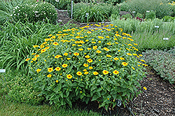 Tuscan Sun False Sunflower (Heliopsis helianthoides 'Tuscan Sun') at Green Thumb Garden Centre