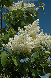 Ivory Silk Tree Lilac (tree form) (Syringa reticulata 'Ivory Silk (tree form)') at Green Thumb Garden Centre