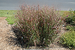 Prairie Fire Red Switch Grass (Panicum virgatum 'Prairie Fire') at Green Thumb Garden Centre