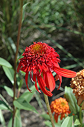Cone-fections™ Hot Papaya Coneflower (Echinacea 'Hot Papaya') at Green Thumb Garden Centre