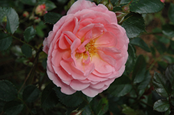 Apricot Drift® Rose (Rosa 'Meimirrote') at Green Thumb Garden Centre
