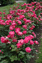 Double Knock Out® Rose (Rosa 'Radtko') at Green Thumb Garden Centre