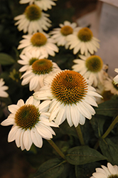 Snow Bomb Coneflower (Echinacea 'Pow Wow White') at Green Thumb Garden Centre