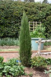 Blue Arrow Juniper (Juniperus scopulorum 'Blue Arrow') at Green Thumb Garden Centre