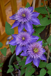Multi Blue Clematis (Clematis 'Multi Blue') at Green Thumb Garden Centre