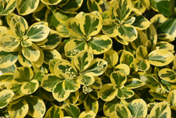 Gold Splash® Wintercreeper (Euonymus fortunei 'Roemertwo') at Green Thumb Garden Centre