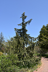 Weeping Nootka Cypress (Chamaecyparis nootkatensis 'Pendula') at Green Thumb Garden Centre