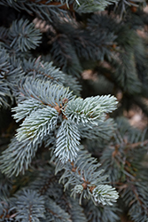 Hoopsii Blue Spruce (Picea pungens 'Hoopsii') at Green Thumb Garden Centre