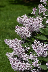 Miss Kim Lilac (Syringa patula 'Miss Kim') at Green Thumb Garden Centre