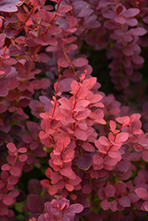 Ruby Carousel Japanese Barberry (Berberis thunbergii 'Bailone') at Green Thumb Garden Centre