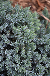 Blue Star Juniper (Juniperus squamata 'Blue Star') at Green Thumb Garden Centre