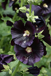 Blacknight Hollyhock (Alcea rosea 'Blacknight') at Green Thumb Garden Centre