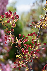 Coralburst Flowering Crab (Malus 'Coralburst') at Green Thumb Garden Centre