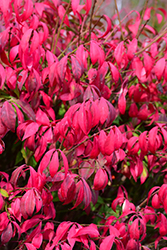 Little Moses Burning Bush (Euonymus alatus 'Odom') at Green Thumb Garden Centre