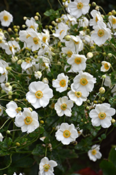 Honorine Jobert Anemone (Anemone x hybrida 'Honorine Jobert') at Green Thumb Garden Centre