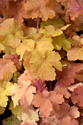 Northern Exposure™ Amber Coral Bells (Heuchera 'TNHEUNEA') at Green Thumb Garden Centre