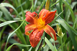 Anzac Daylily (Hemerocallis 'Anzac') at Green Thumb Garden Centre