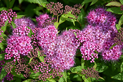 Anthony Waterer Spirea (Spiraea x bumalda 'Anthony Waterer') at Green Thumb Garden Centre