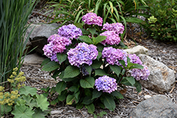Bloomstruck® Hydrangea (Hydrangea macrophylla 'PIIHM-II') at Green Thumb Garden Centre