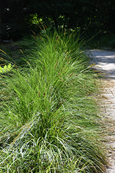Autumn Moor Grass (Sesleria autumnalis) at Green Thumb Garden Centre