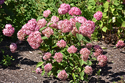 Invincibelle® Ruby Smooth Hydrangea (Hydrangea arborescens 'NCHA3') at Green Thumb Garden Centre