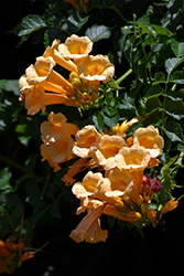 Yellow Trumpetvine (Campsis radicans 'Flava') at Green Thumb Garden Centre