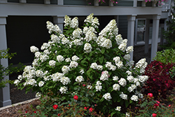 Fire Light® Hydrangea (Hydrangea paniculata 'SMHPFL') at Green Thumb Garden Centre