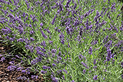 Lavance Purple Lavender (Lavandula angustifolia 'Lavance Purple') at Green Thumb Garden Centre