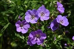 Azure Rush Cranesbill (Geranium 'Azure Rush') at Green Thumb Garden Centre