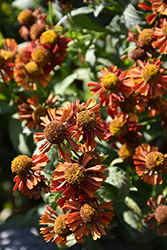 Ruby Tuesday Sneezeweed (Helenium 'Ruby Tuesday') at Green Thumb Garden Centre